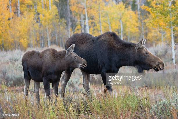 Mother and Calf Moose