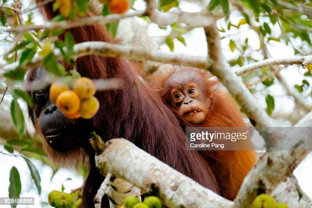 Mother and child Orang Utan in the wild.