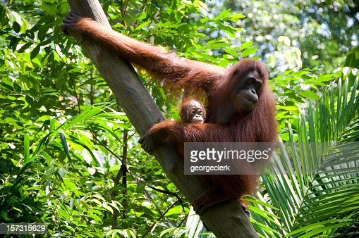 Mother and Child Orangutans