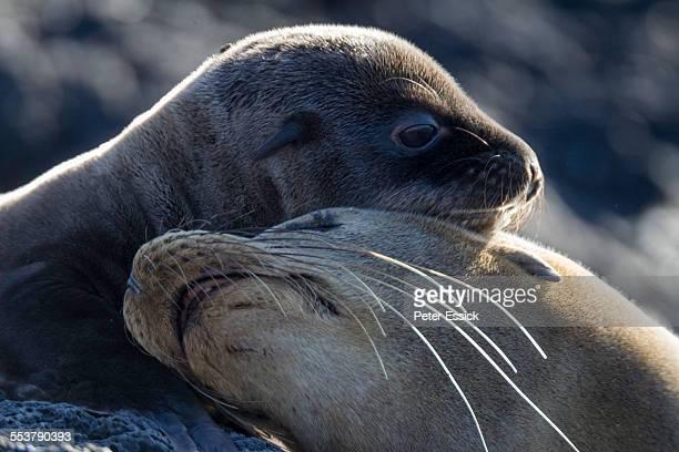 Mother and cub Galapagos Sea Lions, Santiago Island, Galapagos Islands, Ecuador.