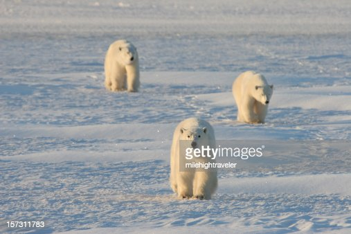 Mother and cub polar bears march across the arctic snows