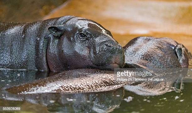Mother and daughter hippo