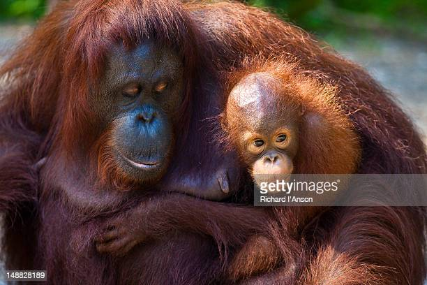 Mother and infant orang-utans (Pongo pymaeus) at Semenggoh Wildlife Rehabilitation Centre.