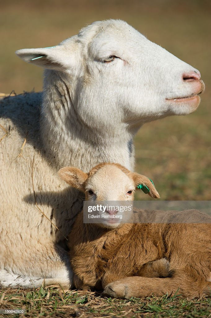 mother and lamb : Stock Photo