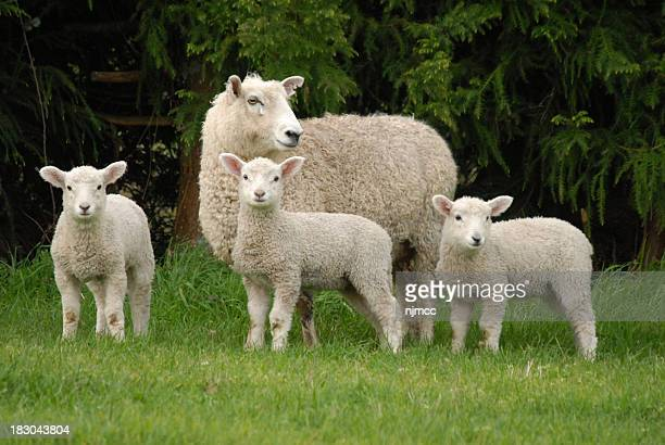 mother and lambs