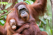 A Mother of orangutan  and her little son (few month) at Semenggoh NP in Sarawak Borneo