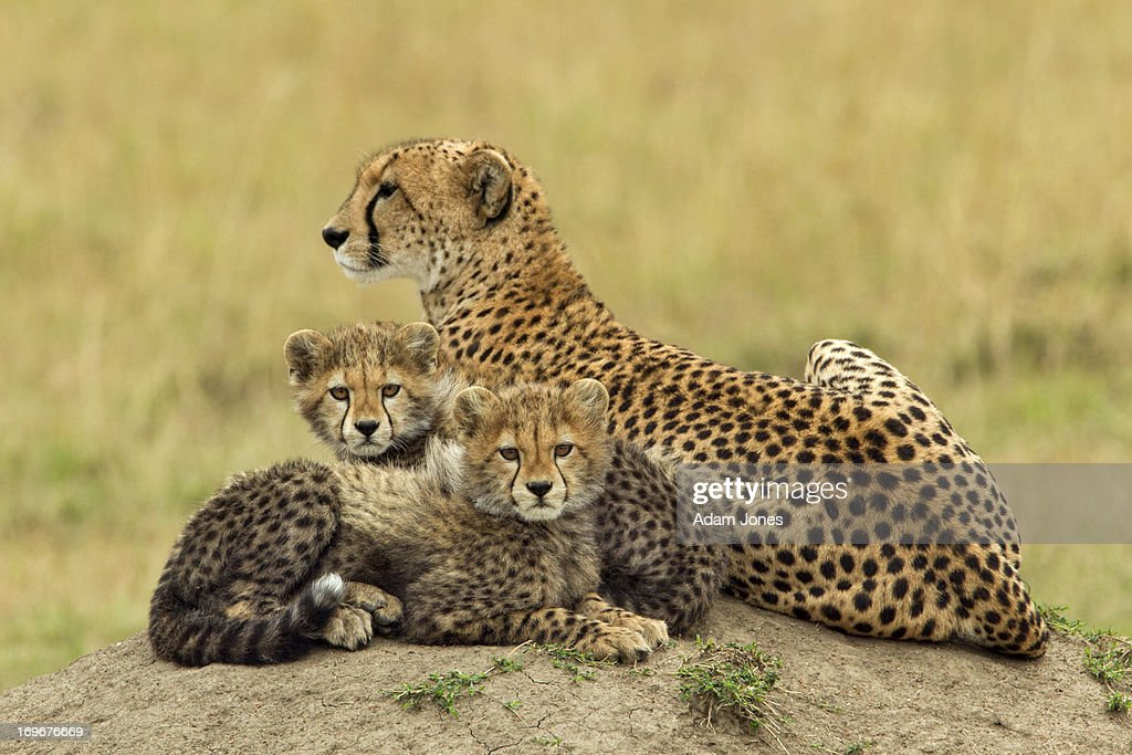 Mother and two baby cheetahs on termite mound : Stock Photo
