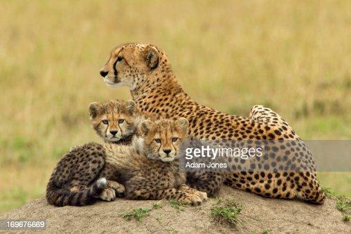 Mother and two baby cheetahs on termite mound : Bildbanksbilder