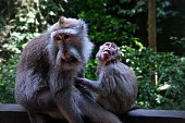 Mother and young Macaque monkeys