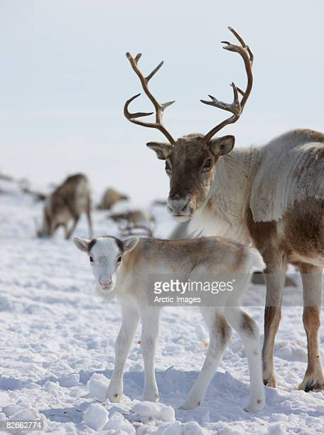 Mother and Young Reindeer, Siberia