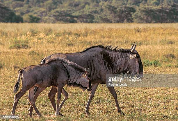 Mother and Young Wildebeest