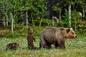 Mother bear and her two cubs in a Finnish forest