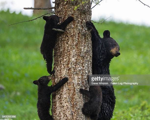 Mother Bear and Her Cubs in a Tree