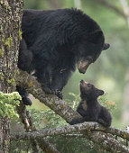 A mother black bear looks lovingly at her cub