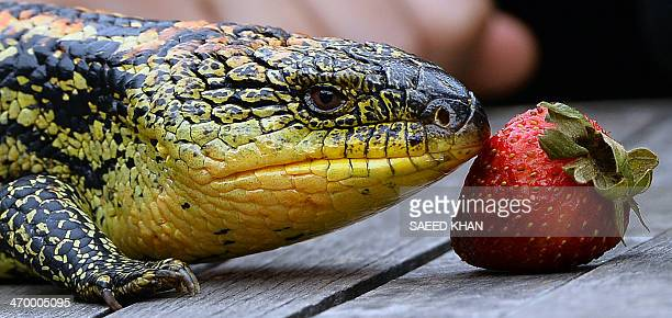 A mother Blotched BlueTongue lizard smells a strawberry during the first time display of its seven babies at the Wild Life Sydney Zoo on February 18...