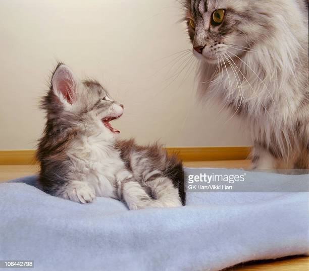 Mother Cat and Kitten on Blue Blanket