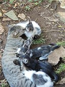Gato, pelagem ,Felino, fofo,curioso,mamando, com fome -Piaui-Brasil.