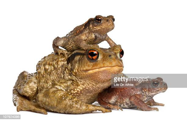 mother Common toad and her babies - bufo bufo