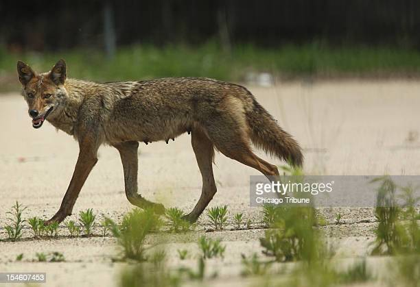 A mother coyote evades animal control in a vacant lot near the 1300 block of Larrabee Street June 3 in Chicago Illinois Coyote sightings have been...