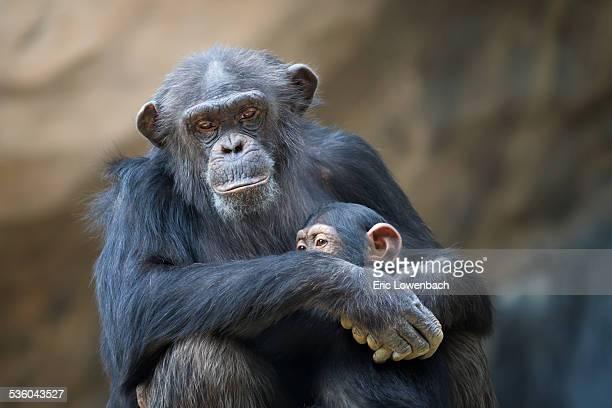 Mother Cuddling Baby Chimp