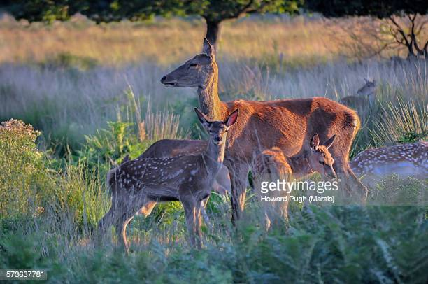 Mother Deer And Family