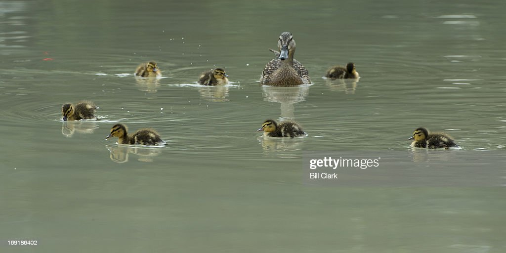 A mother duck and her mallard ducklings, who have taken up residence in the reflecting pool in Upper Senate Park, paddle around the pool on Tuesday morning, May 21, 2013. More than a few tourists and Capitol Hill staff stopped to snap photos of the ducklings.