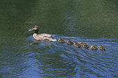 Mother duck swimming with ducklings