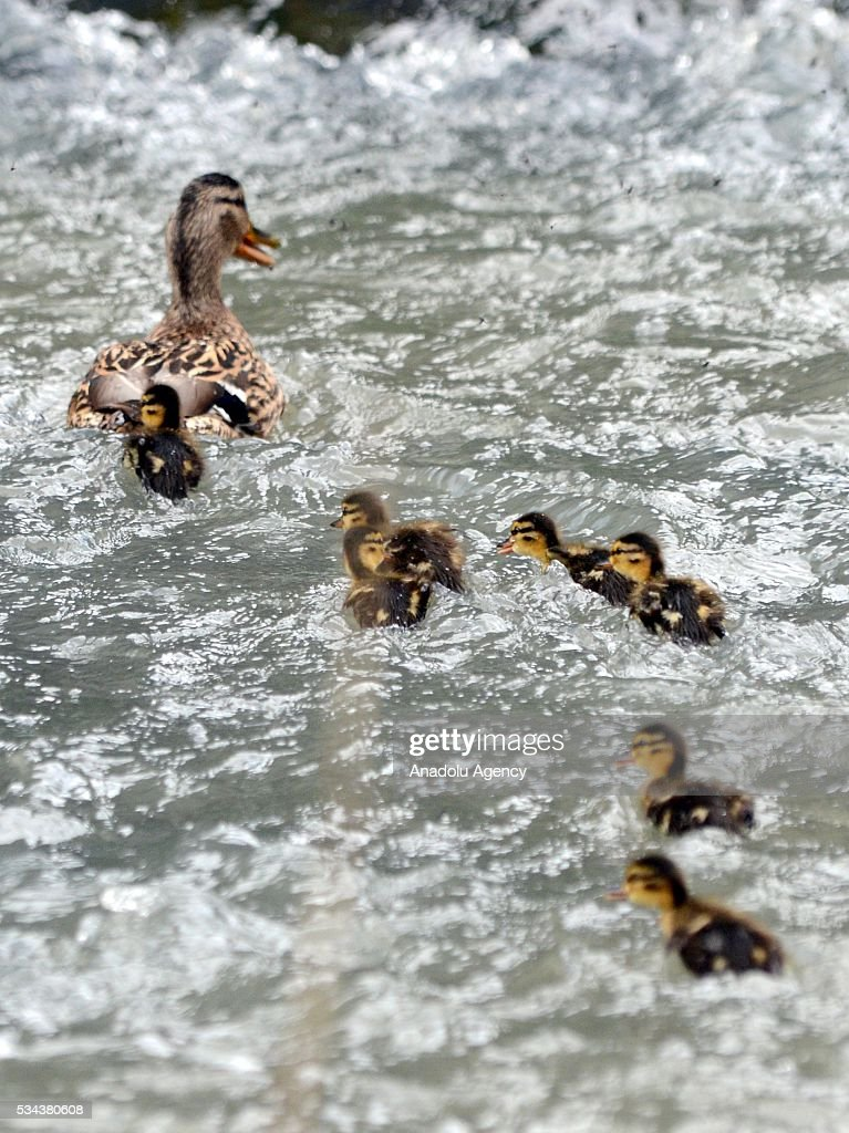 Mother duck teaches her ducklings how to swim on Keklik river as spring comes to Sarikamis district of Turkey's Kars on May 17, 2016.
