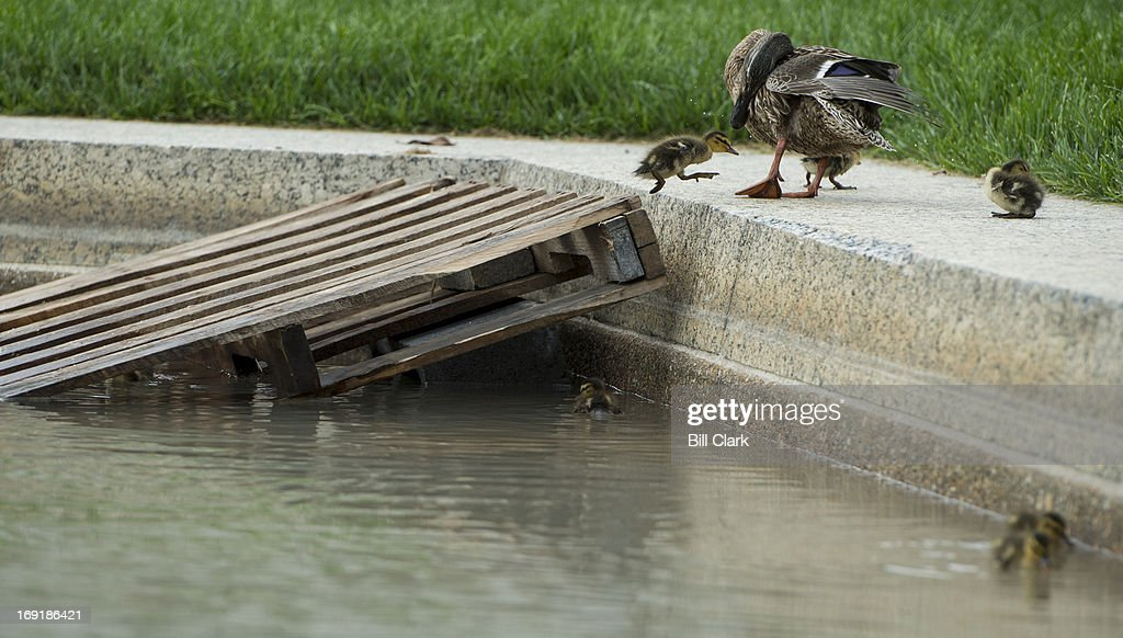 A mother duck watches as one of her seven mallard ducklings leaps from a makeshift ramp in the reflecting pool to the pool's edge in Upper Senate Park on Tuesday morning, May 21, 2013.