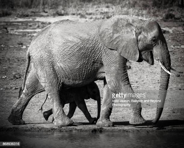 Mother Elephant and Her Shadow in Laikipia