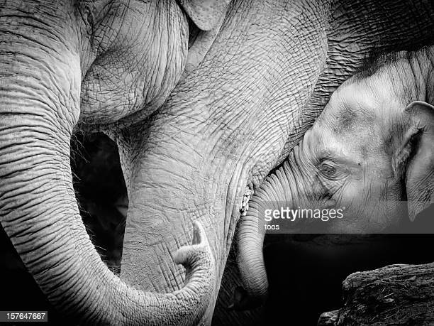Mother elephant with baby, black and white Close-up
