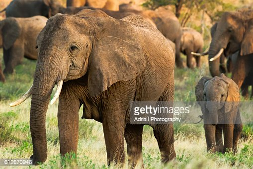 Mother elephant with her young calf