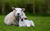 Mother watches over her lamb