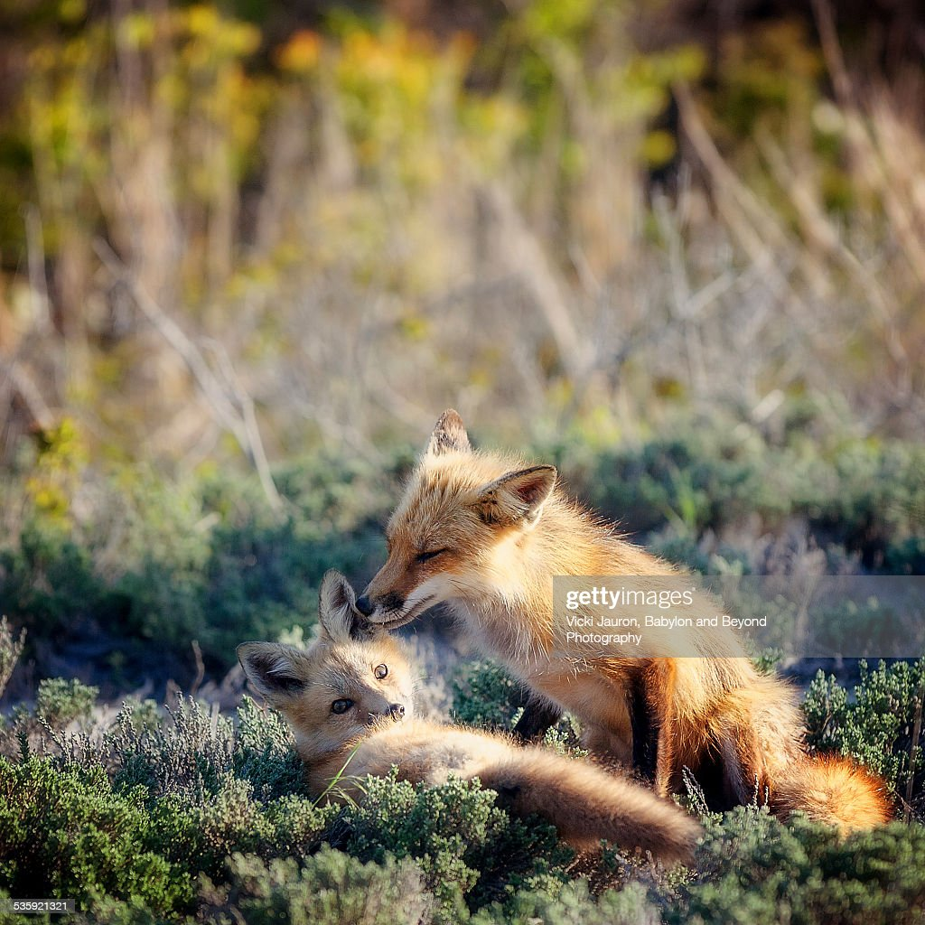 Mother Fox Grooming Young Kit