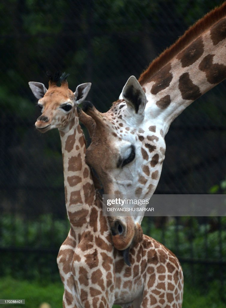 A mother giraffe licks her 20-day old baby giraffe calf and stays close to him at the Alipore Zoological Garden in Kolkata on June 10, 2013. With the birth of this newborn, the number of African giraffes has increased to nine and the garden authorities are taking special care of the newborn and his mother. AFP PHOTO/Dibyangshu SARKAR