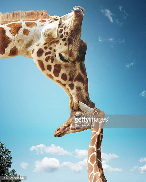 Mother giraffe nuzzling calf's head (Digital Enhancement)
