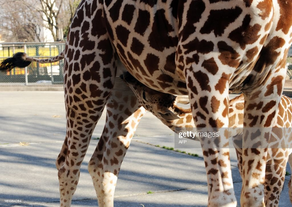A mother giraffe suckle her one-month-old baby at Tokyo's Tama Zoo on February 9, 2013. The female baby giraffe was born on January 4 and can now be seen by the public on sunny days. AFP PHOTO / Yoshikazu TSUNO