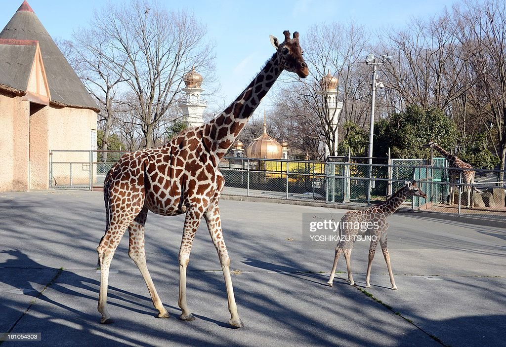 A mother giraffe (L) walks with her one-month-old baby at Tokyo's Tama Zoo on February 9, 2013. The female baby giraffe was born on January 4 and can now be seen by the public on sunny days. AFP PHOTO / Yoshikazu TSUNO