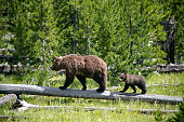 This photograph shows a mother and cub pair of grizzly bears in Yellowstone National Park as they walk across a log at the edge of the forest.