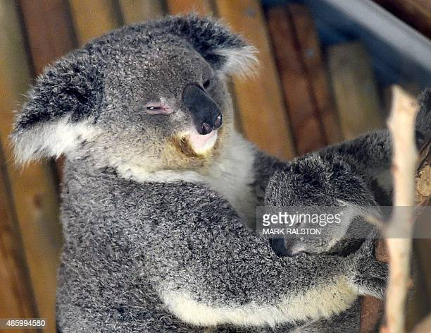 A mother Koala and her newly emerged unnamed Joey in the Australia section of the Los Angeles Zoo California on March 12 2015 The kangaroo and koala...
