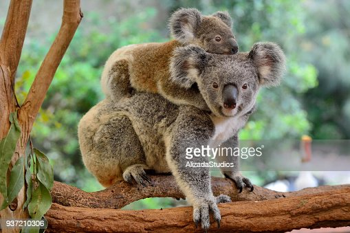 Mother koala with baby on her back : Foto de stock