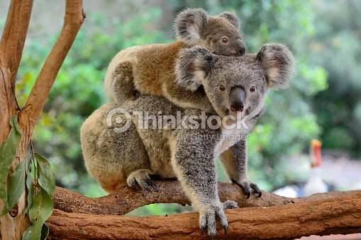 Mother koala with baby on her back : Stock Photo