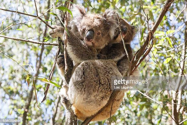 Mother koala with her baby