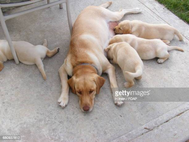 Mother lab feeding her puppies