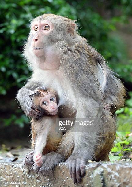 A mother macaque holds baby macaque in Qianling Mountain on last day of Dragon Boat Festival holiday on June 22 2015 in Guiyang Guizhou province of...