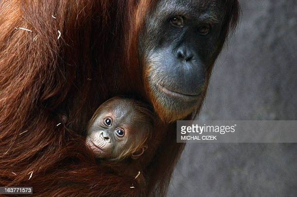 Mother of Sumatran orangutan holds her three weeks old baby at the Zoo in Prague March 15 2013 AFP PHOTO / MICHAL CIZEK