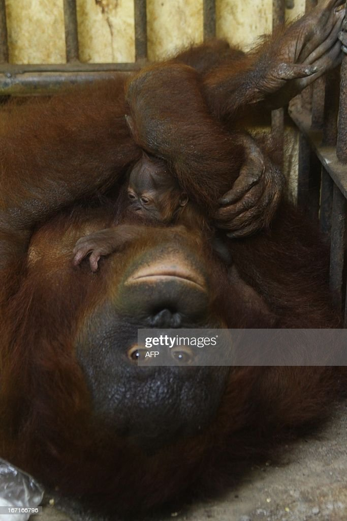 Mother orangutan Bela hugs her three-days-old baby named Belia at the Mangkang zoo in Semarang on April 22, 2013. Experts believe there are about 50,000 to 60,000 of the two species of orangutans left in the wild, 80 percent of them in Indonesia and the rest in Malaysia. They are faced with extinction from poaching and the rapid destruction of their forest habitat, mainly to create palm oil plantations. Environmental groups are pushing for stronger forest and wildlife protection and conservation as April 22, 2013 marks Wold Earth Day.