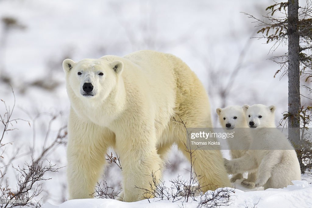 Mother polar bear and cubs (Ursus maritimus) : Stock Photo