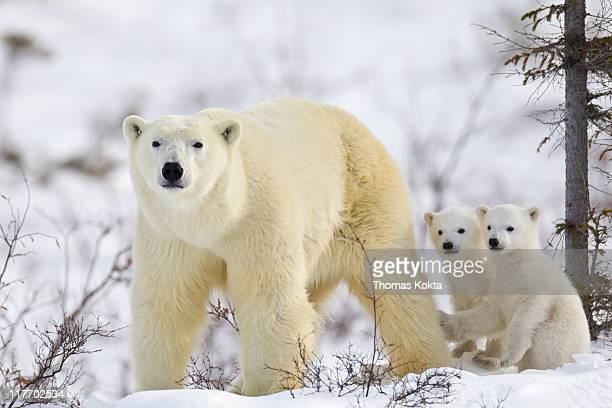Mother polar bear and cubs (Ursus maritimus)