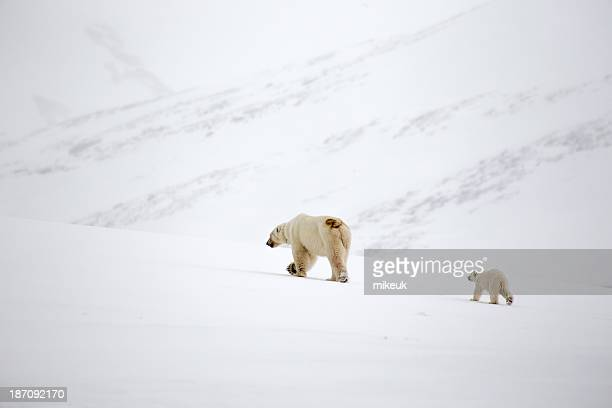 mother polar bear with cub in Svalbard